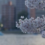 Sakura 2015 - Parc Ueno (6)