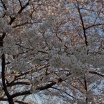 Sakura 2015 - Shinjuku Gyoen (9)