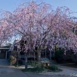 Sakura 2015 - Tennoji (1)