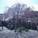 Sakura 2015 - Tennoji (2)