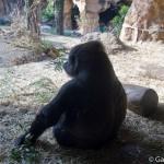 Zoo Ueno panda (4)