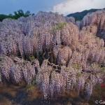 ashikaga flower park tochigi (10)
