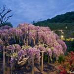 ashikaga flower park tochigi (11)