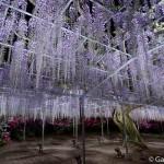 ashikaga flower park tochigi (18)