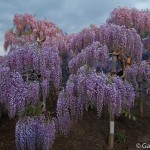 ashikaga flower park tochigi (20)