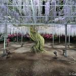 ashikaga flower park tochigi (32)