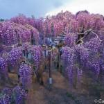 ashikaga flower park tochigi (35)