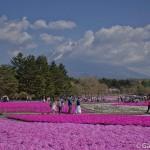 Fuji Shibazakura (1)