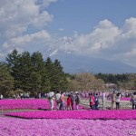 Fuji Shibazakura (10)