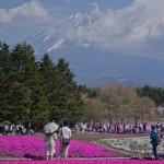 Fuji Shibazakura (2)