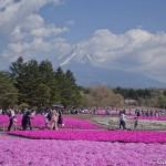 Fuji Shibazakura (6)