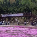 Fuji Shibazakura (7)