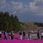 Fuji Shibazakura (8)