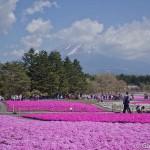 Fuji Shibazakura (9)