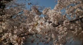 O Hanami: Sakura et fleur de cerisier à Yoyogi Koen
