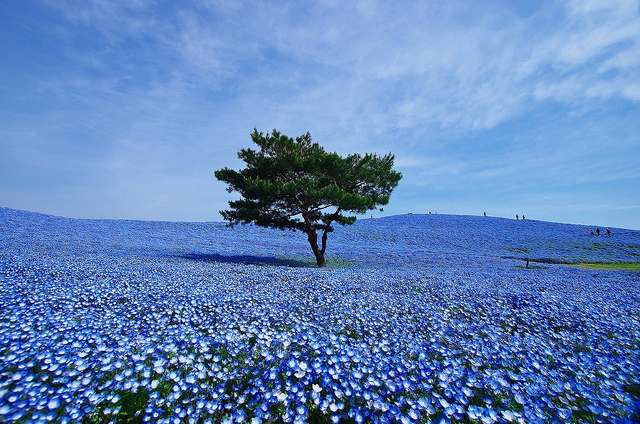Hitachi Seaside Park - photo par Kota-g sur Flickr