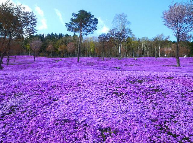 Shibazakura Takinoue Park - photo par Sowar Monawaaa sur flickr