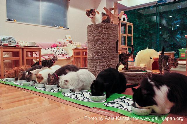 Pendant un séjour au Japon, un tour dans un Neko Café est un des  incontournables, pour vous relaxer, jouer avec les chats et découvrir un  aspect de la