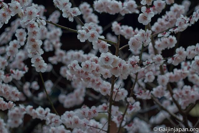 Ume Matsuri La Fleur De Prunier Du Japon Et Sa Floraison Un