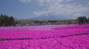 Fuji Shibazakura Matsuri, parterre de fleurs de toute beauté