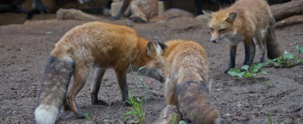 Zao Kitsune Mura, le village aux renards