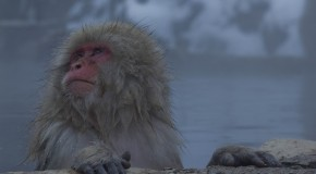 Jigokudani Yaen-Koen, les singes dans un Onsen
