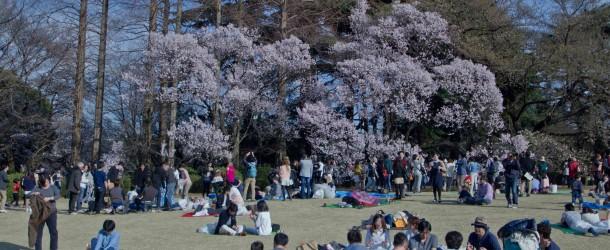 O Hanami, la fête sous les cerisiers au Japon