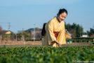 A la découverte du thé de Sayama